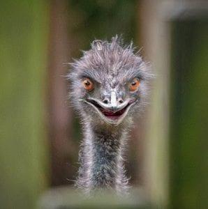 struisvogel eng